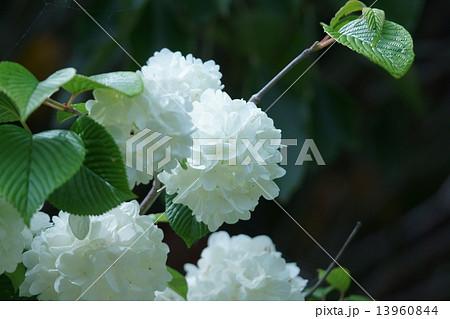 大手毬オオデマリ 紫陽花に似た純白の花です。 13960844