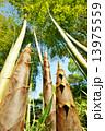 竹の子 タケノコ 竹林の写真 13975559