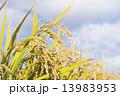 北海道の稲作 13983953