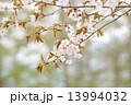 山桜 ヤマザクラ 花の写真 13994032