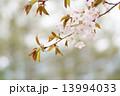 ヤマザクラ 花 桜の写真 13994033