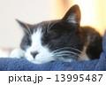 お昼寝する猫(白黒) 13995487