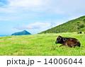 放牧 八丈島 牛の写真 14006044