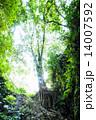 インドネシア 木 大きいの写真 14007592