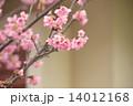 緋寒桜 寒緋桜 カンヒザクラの写真 14012168
