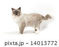 猫の横姿 14013772
