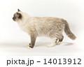 猫の横姿 14013912
