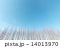 メタセコイア 木 並木の写真 14013970
