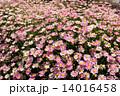 ピンク マーガレット 花畑の写真 14016458
