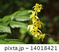 黄海老根 エビネ 花の写真 14018421