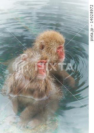 混浴露天風呂の美女猿とイケメン猿のカップル Couple of the monkey of the  14028972