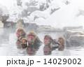 ニホンザル 猿 冬の写真 14029002