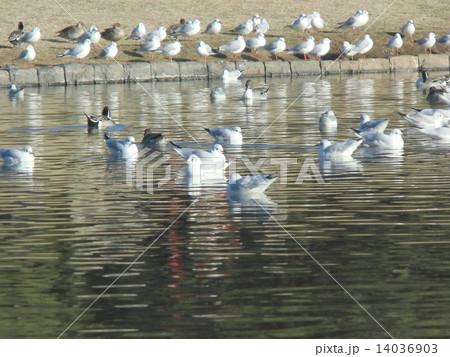 海浜公園の池に飛来した冬の渡り鳥オナガガモとユリカモメ 14036903