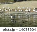 オナガガモ ユリカモメ 池の写真 14036904