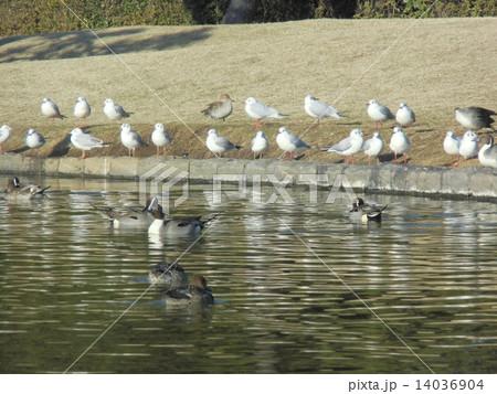 海浜公園の池に飛来した冬の渡り鳥オナガガモとユリカモメ 14036904