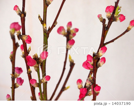 桃の花 14037190