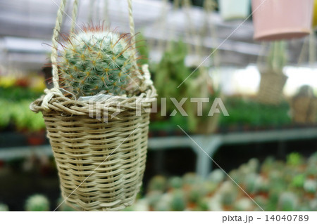 Small cactusの写真素材 [14040789] - PIXTA