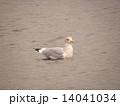 夕日の中検見川浜の海をゆうゆうと泳ぐセグロカメ 14041034
