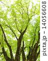 樹木 木 新緑の写真 14056608
