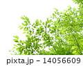 新緑 14056609
