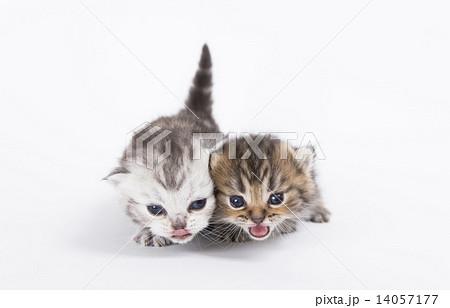 鳴く仲良しな兄弟猫 14057177