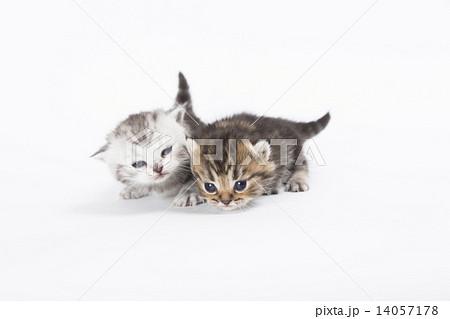 色違いの兄弟猫 14057178