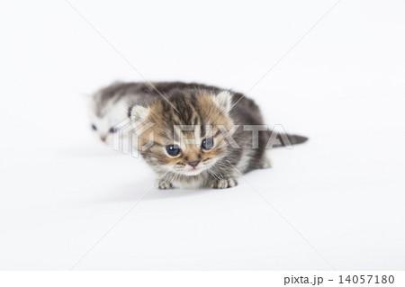 カメラの興味を示す子猫 14057180