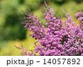 エリカ ジャノメエリカ 花の写真 14057892