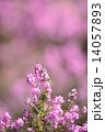 エリカ ジャノメエリカ 花の写真 14057893