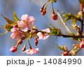 カワヅザクラ 花 桜の写真 14084990