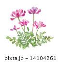蓮華草 レンゲソウ 14104261