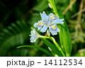 森の舞姫 14112534