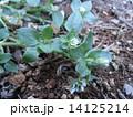 春の訪れを知らせる白いハコベの小さい花 14125214