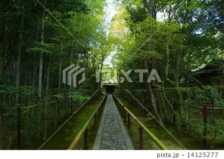 大徳寺 高桐院の新緑 14125277