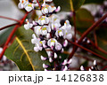 ハーデンベルギア コマチフジ ヒトツバマメの写真 14126838