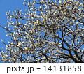 ハクモクレン 花 蕾の写真 14131858