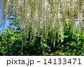 藤の花 花 藤の写真 14133471