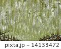 藤の花 花 藤の写真 14133472