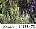 藤の花 花 藤の写真 14133473