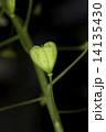 ナズナ ペンペン草 種の写真 14135430