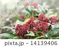 ミヤマシキミ スキミア シキミアの写真 14139406