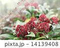 ミヤマシキミ スキミア シキミアの写真 14139408