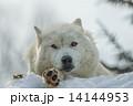 シンリンオオカミ 旭山動物園 (旭川市) 14144953
