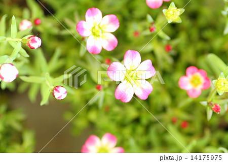 春の小花 14175975