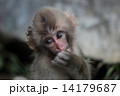 餌を食べる子猿 14179687
