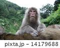グルーミングをさるボス猿 14179688