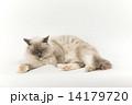 くつろぐ親猫 14179720