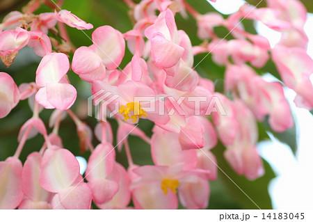 木立ベゴニア シルバーミストの花  14183045