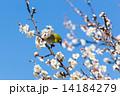 梅の花とメジロ 14184279