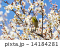 梅の花とメジロ 14184281